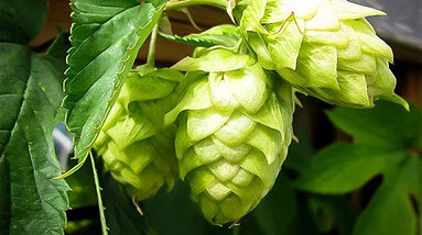 Hops cones on a branch