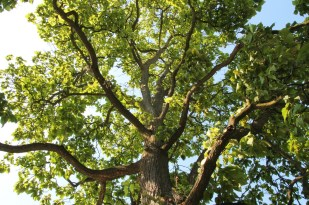 Historic Catalpa Tree_Brewery Becker Brighton MI_Biergarten_IMG_6477