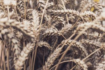 Field of unharvested grain for use in brewing beer.