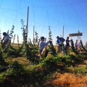 Pickers harvesting hops off the vine at the Ruhstaller Hop Yard