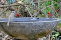 Scarlet honeyeaters sharing with a yellow face