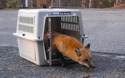 This fox steps out and runs away during a release in a Brewster neighborhood. The fox was released after five weeks of treatment for mange. She was captured in the garage of Bunny and Henry Anderson of Brewster. The couple called the town's animal control officer Lynda Brogden-Burns. The fox was sent to Cape Wildlife Center in Barnstable for treatment. Mange is a painful condition caused by burrowing mange mites. Photo by The Cape Codder