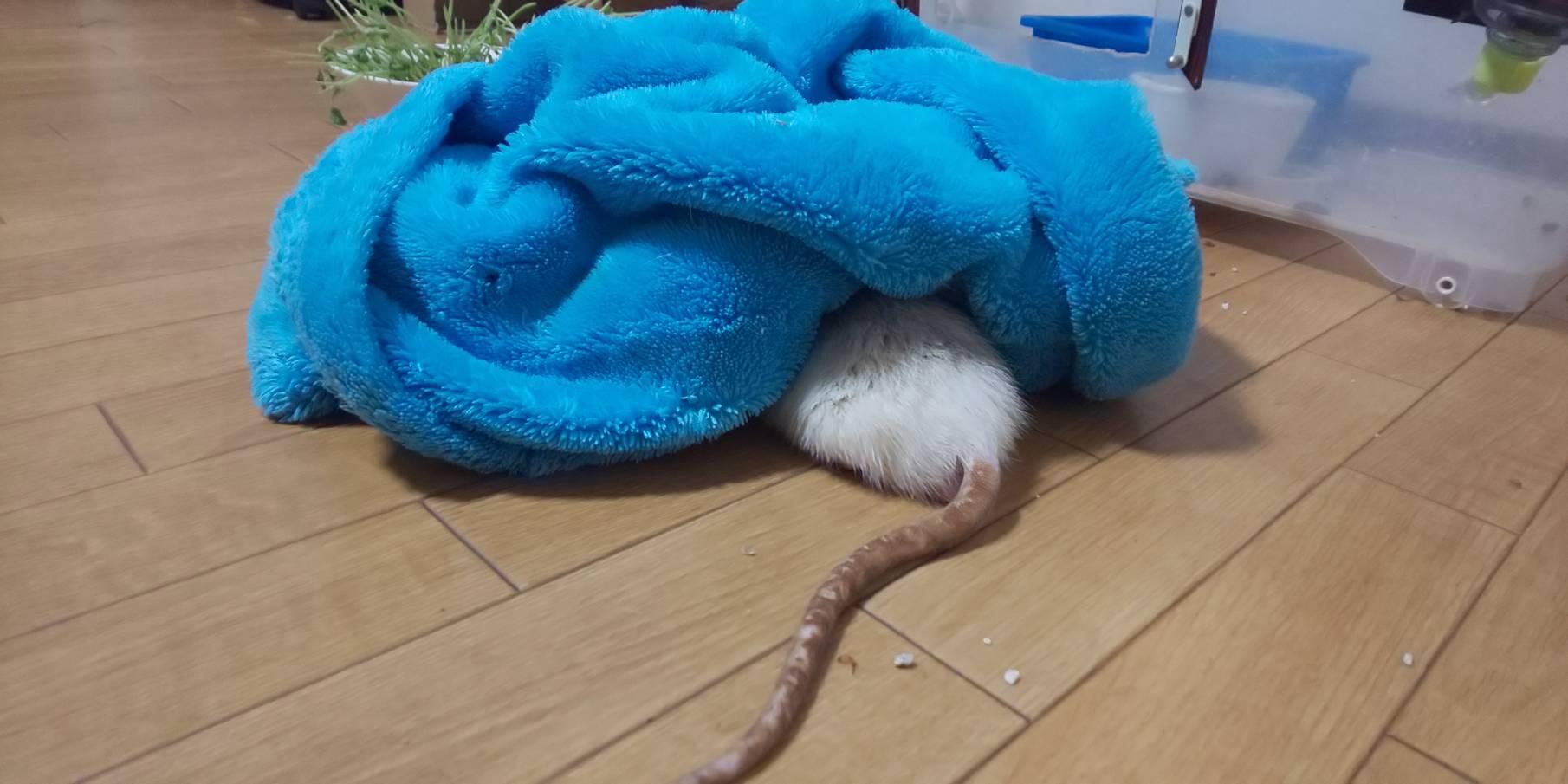 台風の日のラット・・・頭かくして尻隠さず?