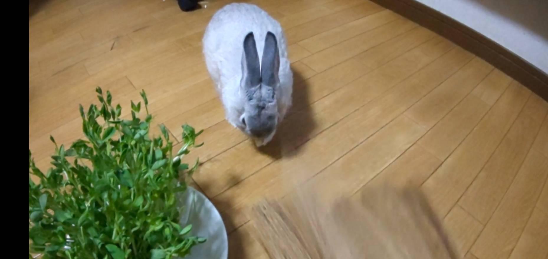 【ミニウサギ】 ウサギを扇いだら 鼻がムズムズするらしい。
