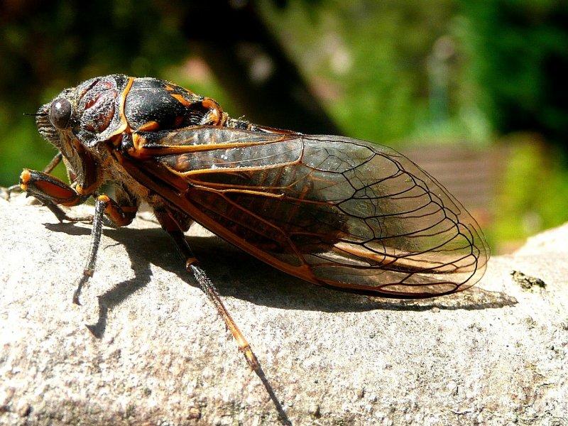 Cicada Insect - Image: Public Domain, Pixabay