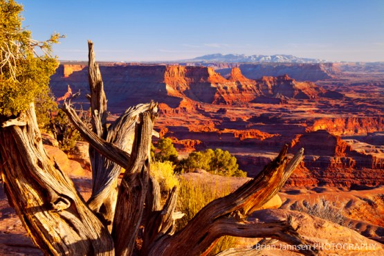 Old weathered tree Canyonlands National Park sunset Utah