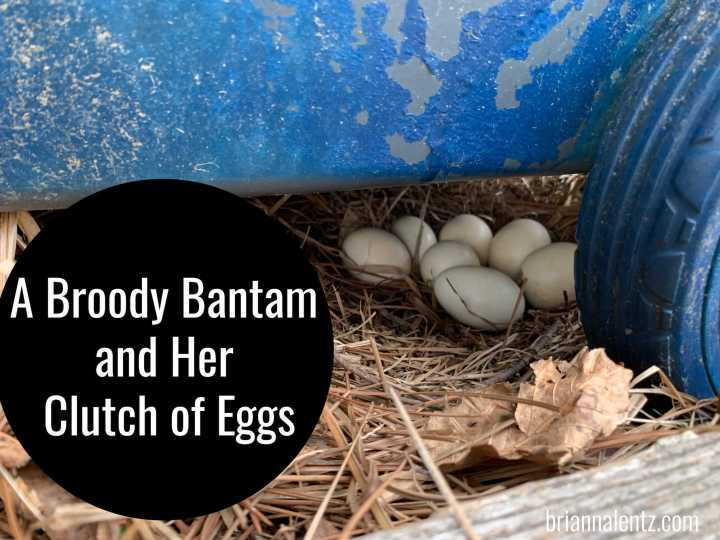 A Broody Bantam and Her Clutch of Eggs