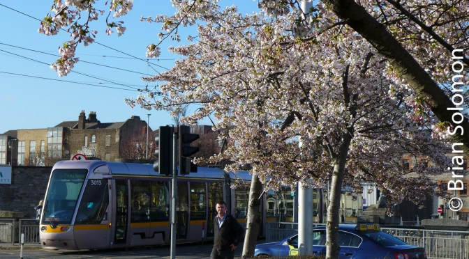 Cherry Blossoms at Heuston Station.
