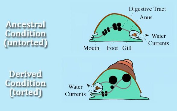 Illustration of Torsion in snails.