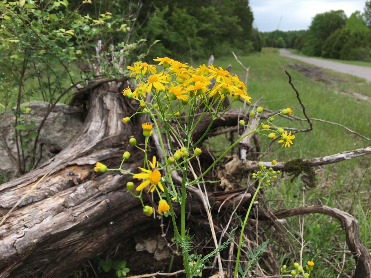 Cedar Forest Road wildflowers