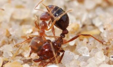 crazy-ant-attacks-fire-ant-foumis-rasberry-feu