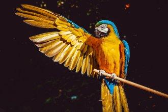 pappagallo ara che apre un'ala