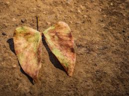 foglia-africana-di-mopane-colophospermom-secca-caduta-dall-albero