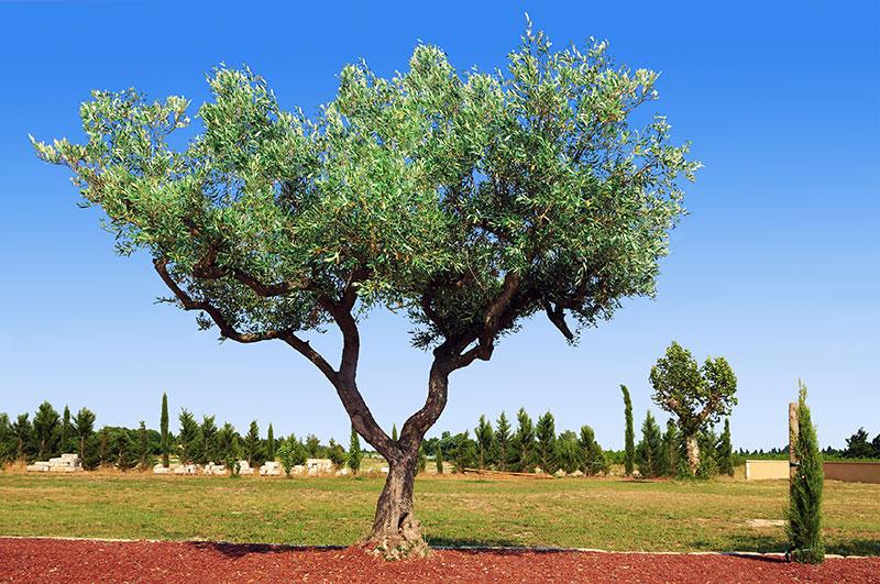 Magnifique olivier en pleine campagne