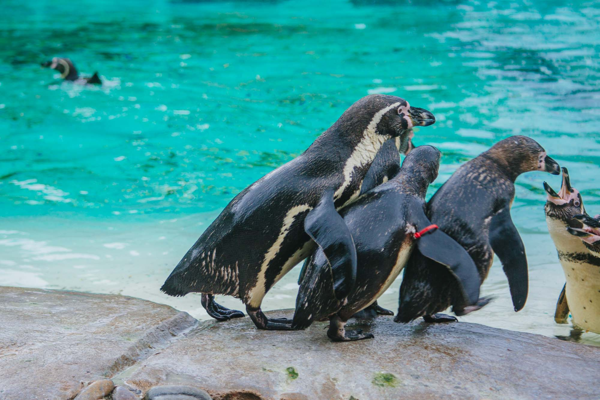London Zoo ZSL - Penguins
