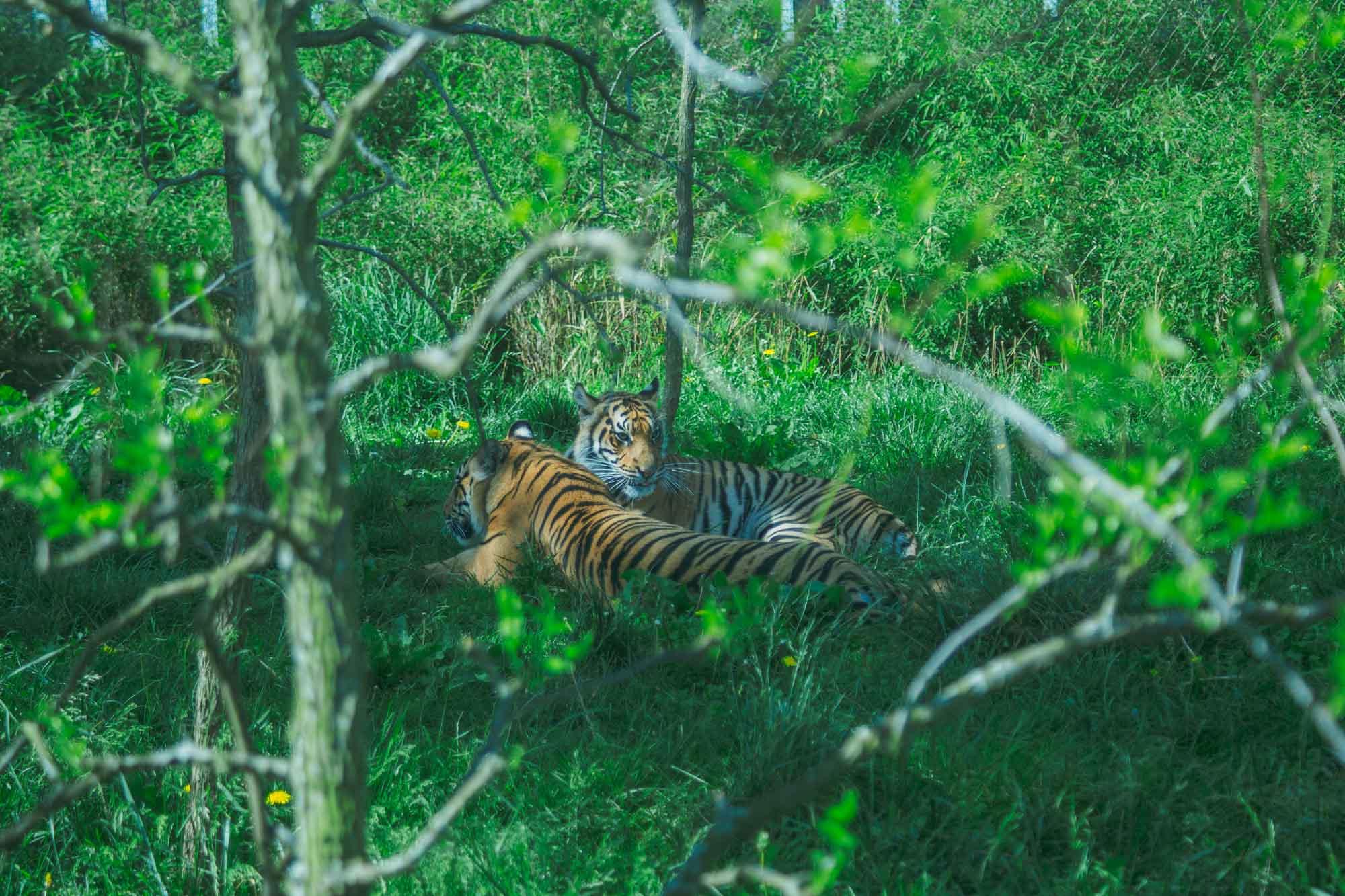 London Zoo ZSL - Tigers