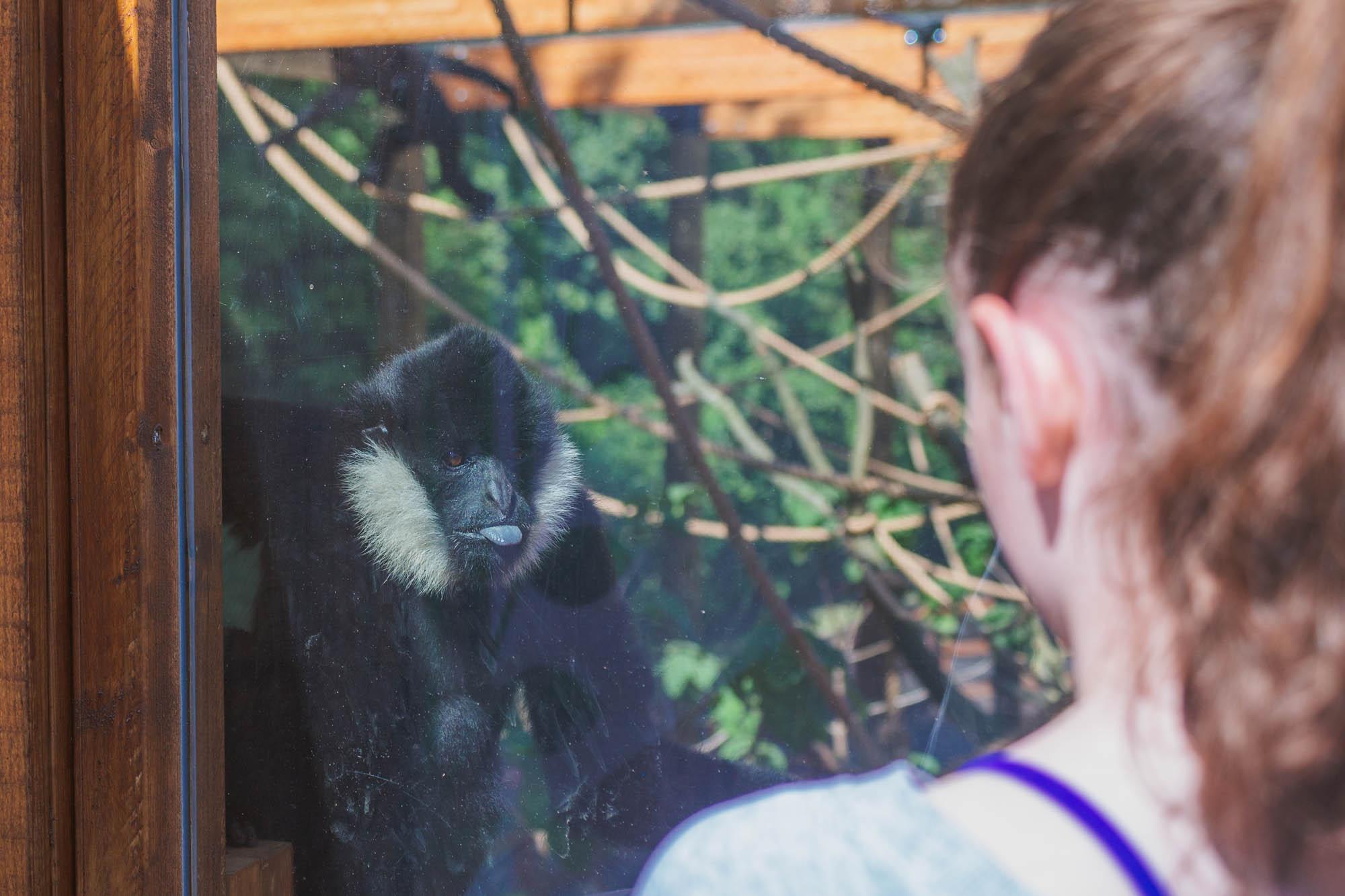 London Zoo ZSL - Gibbon