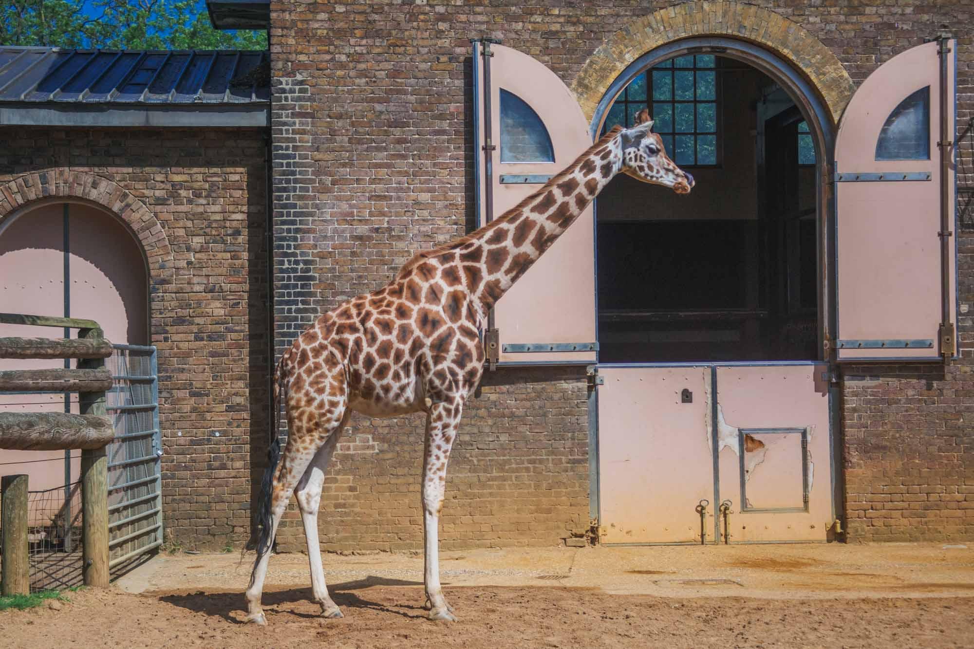 London Zoo ZSL - Giraffe