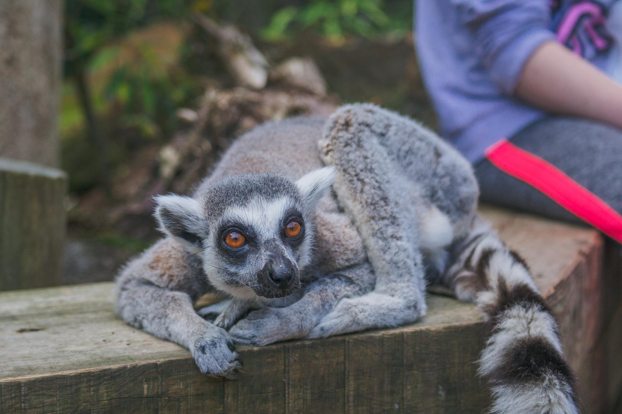 London Zoo ZSL - Lemurs