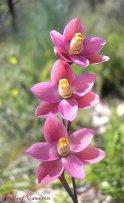 Salmon Sun Orchids (Thelymitra rubra).