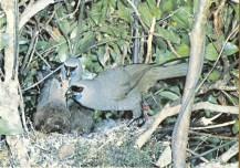 Kokako rare New Zealand bird