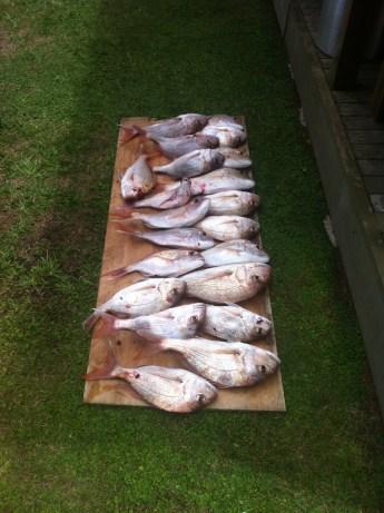 21 snapper caught