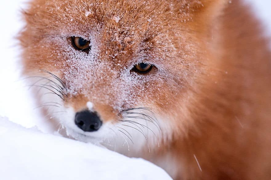 renards arctique 22