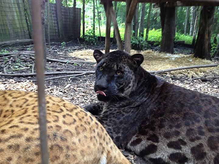 Les Animaux Hybrides Les Plus Extraordinaires