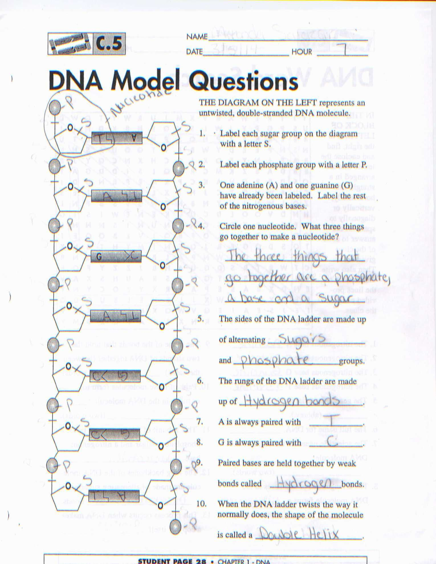 32 Nucleic Acids Worksheet Answer Key