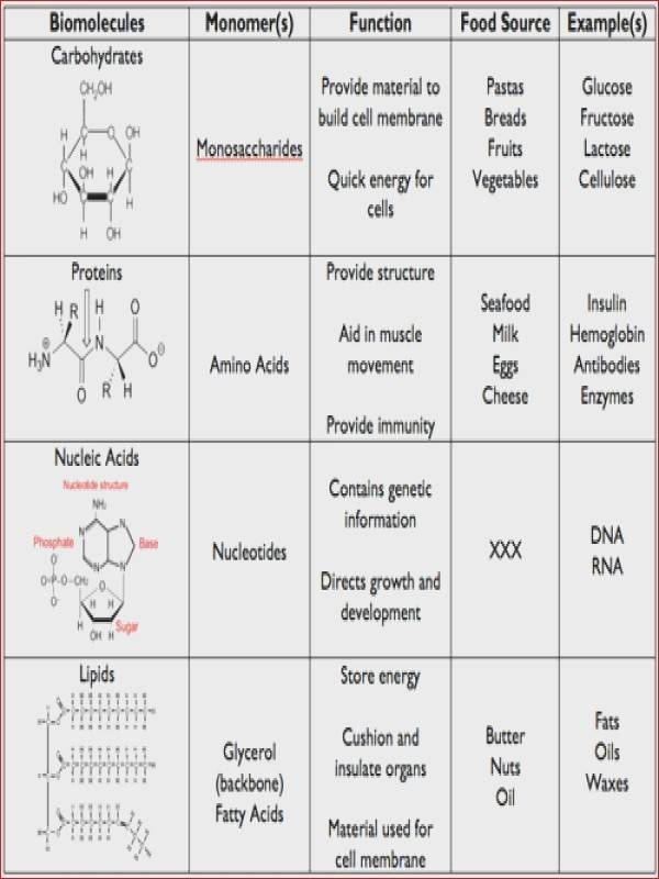 Biomolecules Worksheet Answer Key