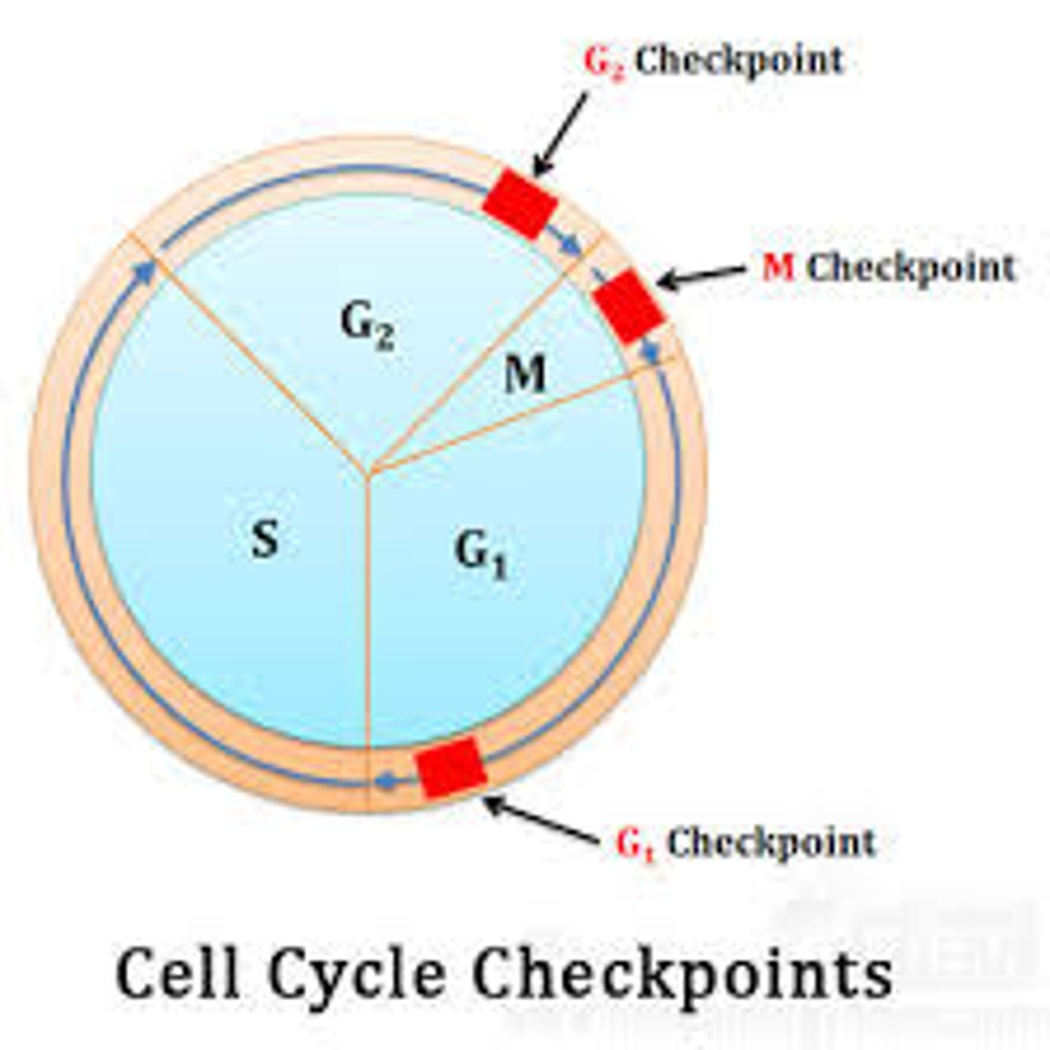 Cell Cycle Labeling Worksheet
