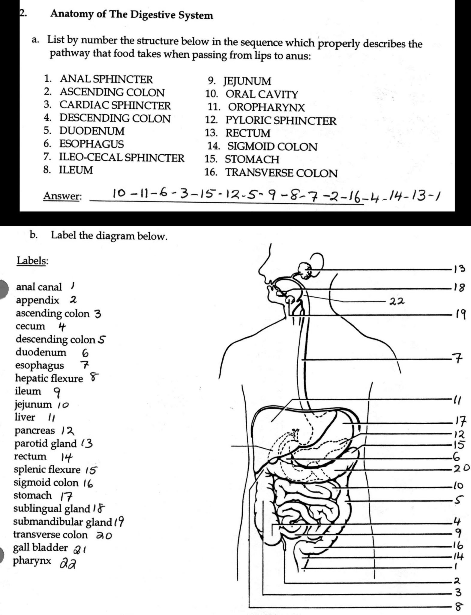 Worksheet Cardiovascular System Answers