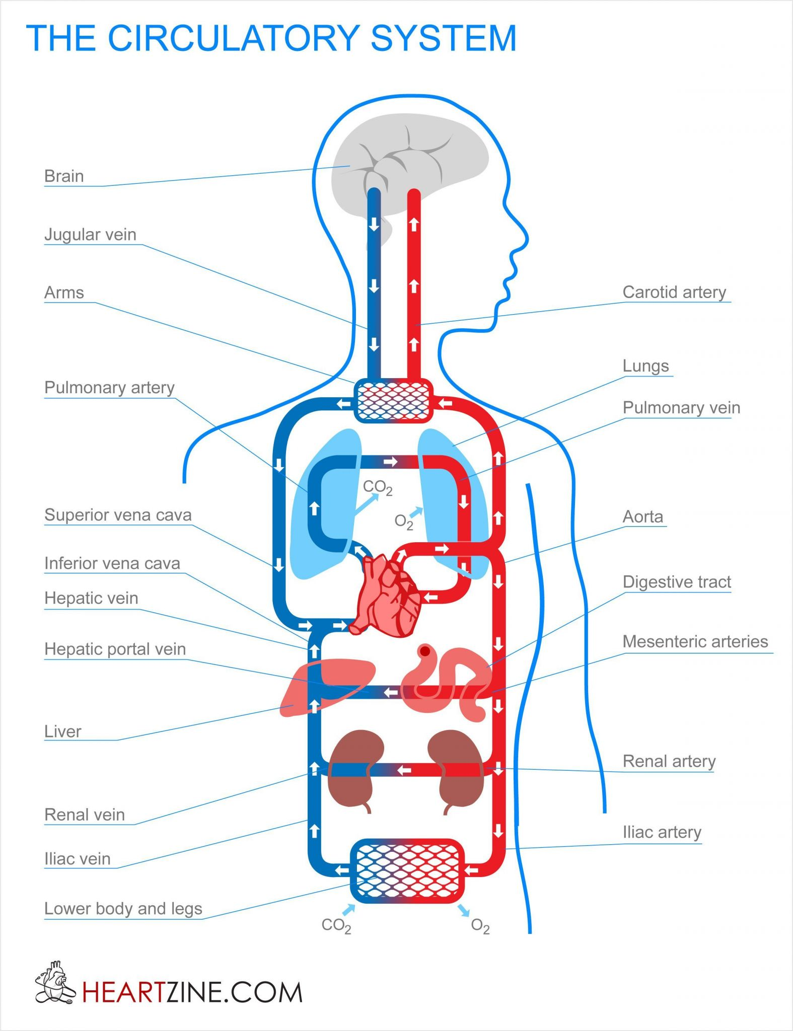 Circulatory And Respiratory System Worksheet