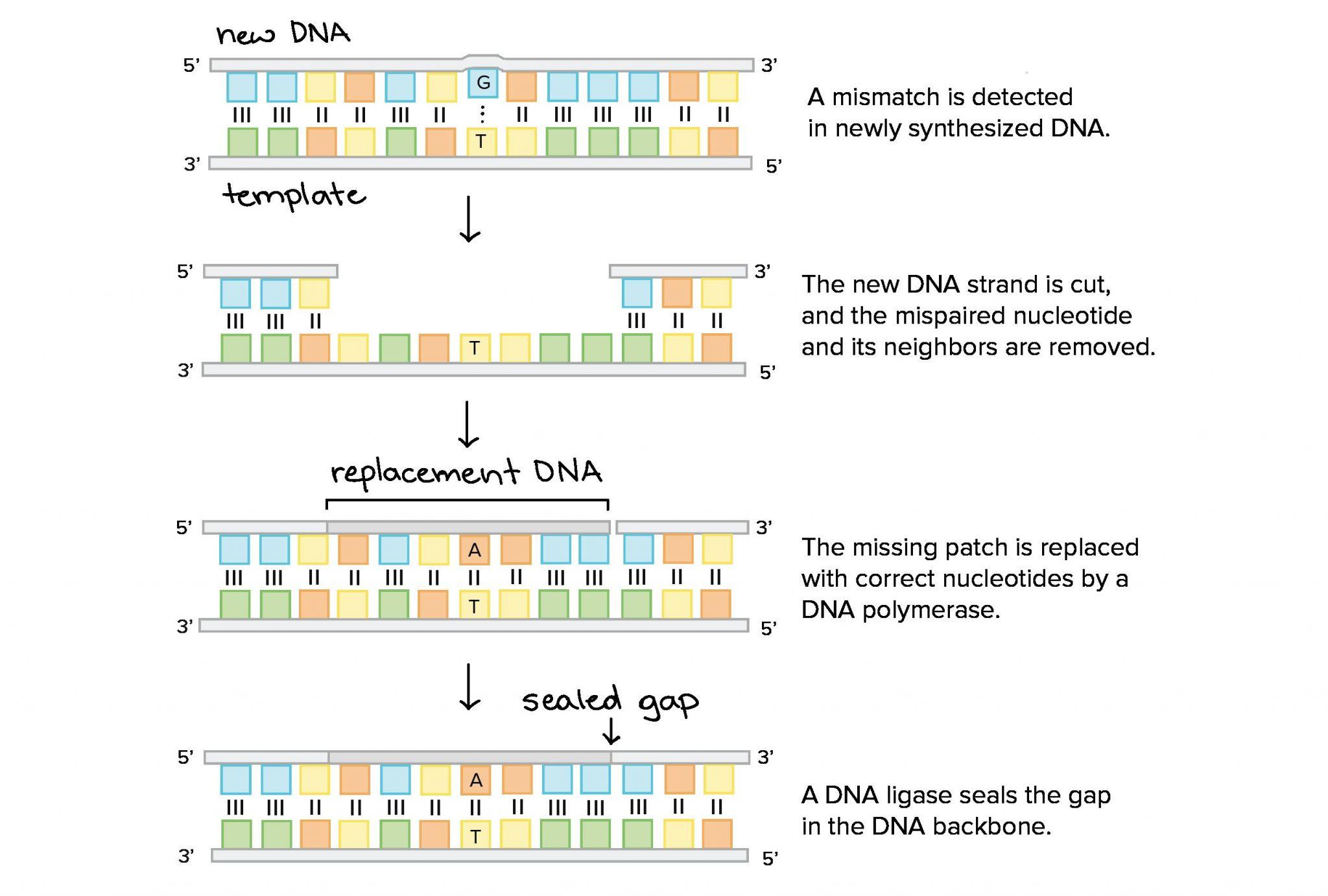 Dna Mutations Worksheet Answer Key