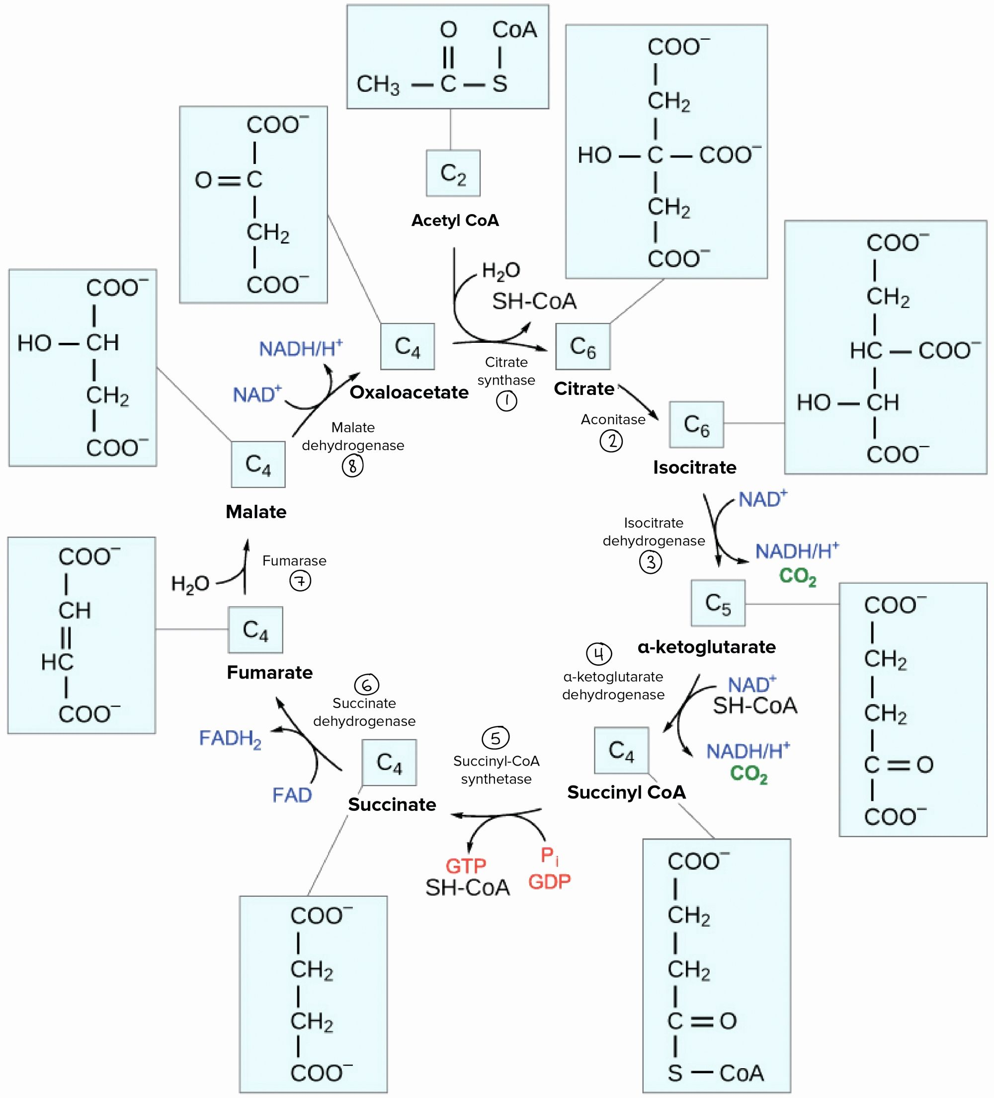 The Krebs Cycle Student Worksheet
