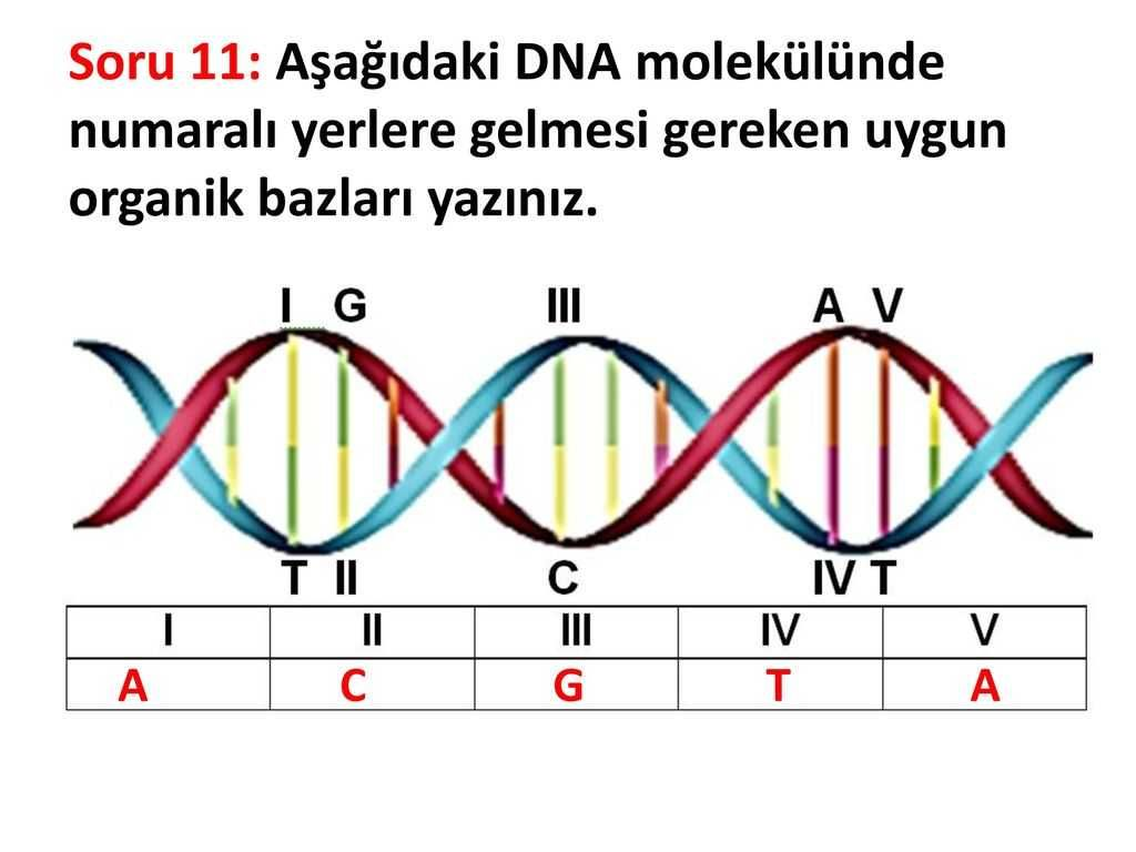 Worksheet 4 4 Chargaff S Dna Data Answer Key