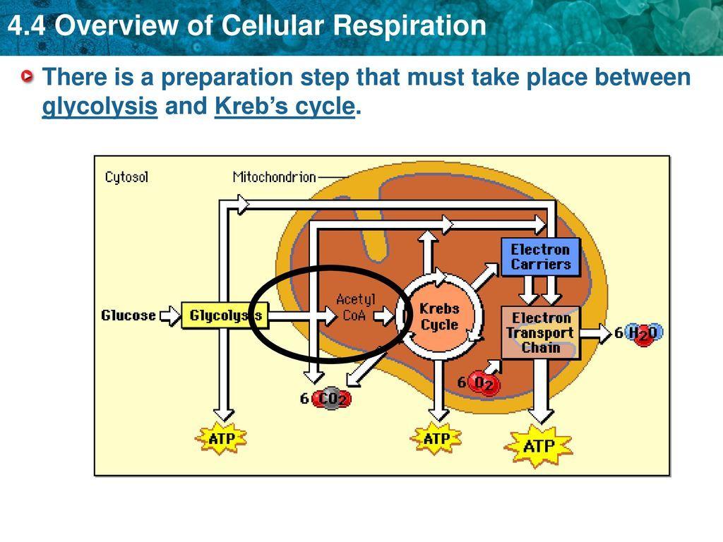 Photosynthesis Amp Cellular Respiration Worksheet