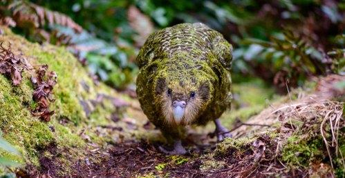 Kakapo full width
