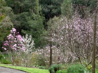 Magnolias, nectarines and more all in bloom!