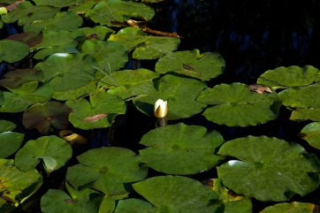 A lily in Briga-lagoon