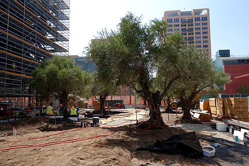 A new grove of fifteen 100-year old Barouni olive trees from Northern California has been shipped down as part of the new Broad plaza on Bunker Hill in Downtown LA