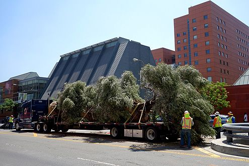 The last batch of olive trees arrived on Friday morning from Northern California