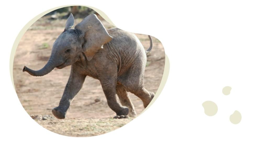 baby olifantje