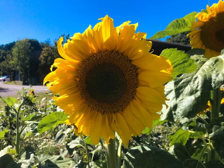 A Guide to Sunflower Fields in Hampshire