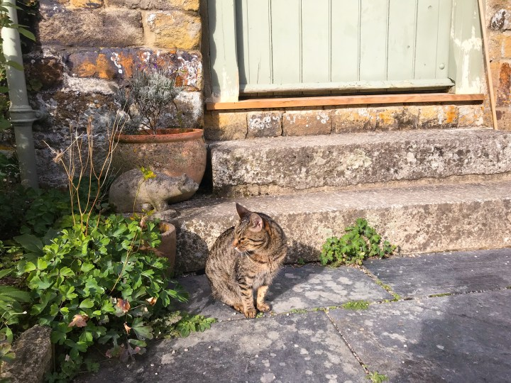 A cat at Trerice House in Newquay, Cornwall, England, UK