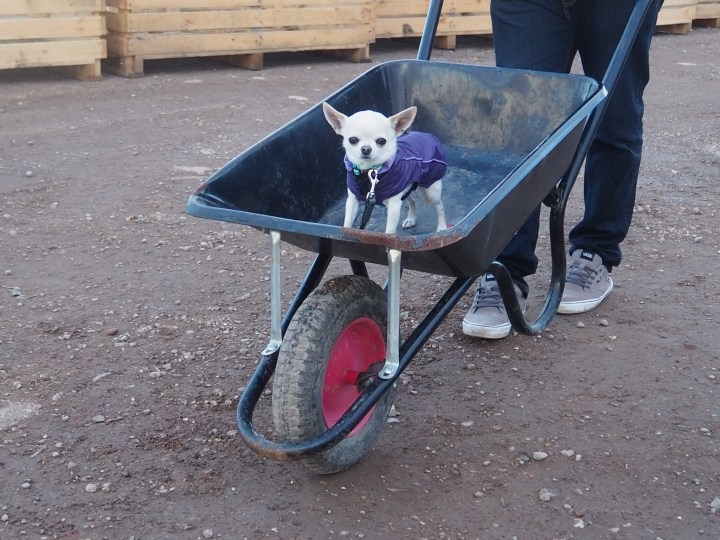 Dogs on leads, like my chihuahua, are allowed Sunnyfields Farm in Southampton, Hampshire.