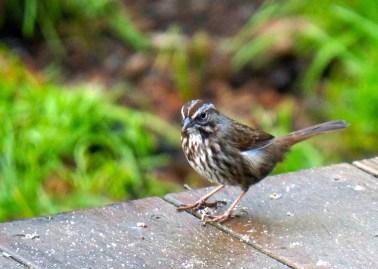 Common sparrow.