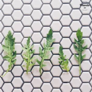 organic arugula leaves