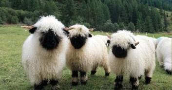 sheepvalais