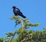 Crow on tree Spirit Honoring
